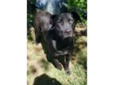 Adopt DARLING DORA a Black Labrador Retriever / Mixed dog in Glenburn