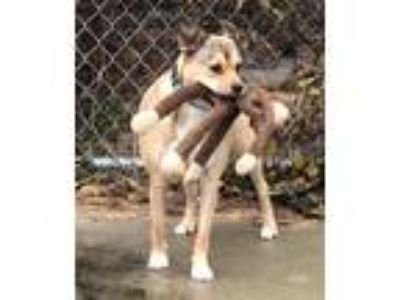Adopt Comet a Beagle, German Shepherd Dog