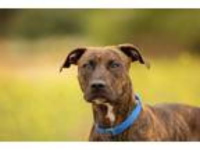 Adopt Ruby a American Pit Bull Terrier / Mixed dog in Escondido, CA (25877910)