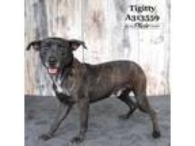 Adopt TIGITTY a Labrador Retriever, Mixed Breed