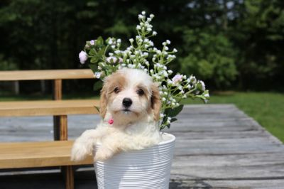 Cavachon PUPPY FOR SALE ADN-87567 - Cavachon  Puppy