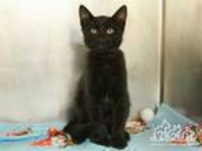 Adopt RASCAL a All Black Domestic Shorthair / Mixed (short coat) cat in Irvine