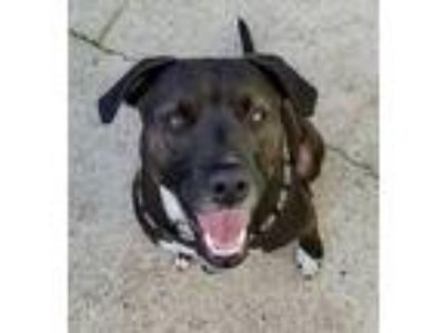 Adopt Poppy a Black Labrador Retriever / Pit Bull Terrier / Mixed dog in Boston
