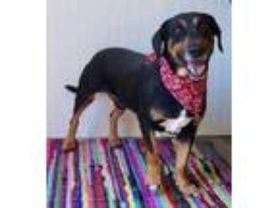 Adopt Finkelbart a Black Basset Hound / Rottweiler / Mixed dog in Beaumont