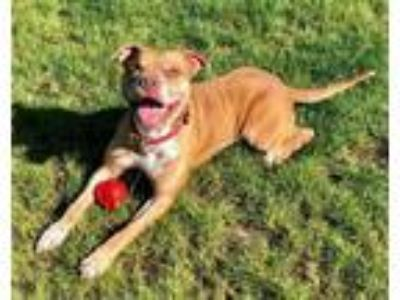 Adopt SIRE a Pit Bull Terrier