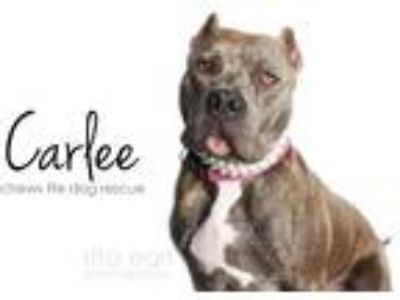 Adopt Carlee a Brindle Cane Corso / American Pit Bull Terrier / Mixed dog in Los