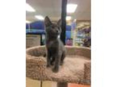 Adopt Edith a Gray or Blue Domestic Shorthair (short coat) cat in Kennesaw