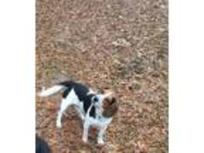 Adopt Ranger R. a Tricolor (Tan/Brown & Black & White) Beagle / Mixed dog in