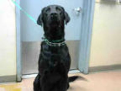 Adopt * a Black Labrador Retriever / Mixed dog in San Jose, CA (25562149)