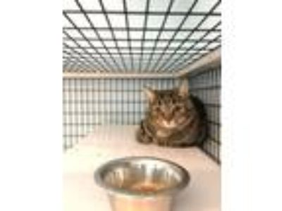 Adopt Starr a Domestic Short Hair, Tabby