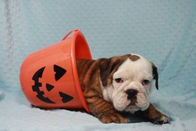 AMAZING AKC English Bulldog puppies available in Las Vegas/Henderson