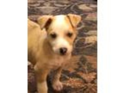 Adopt CeCe a Tan/Yellow/Fawn Collie / Mixed dog in Altoona, PA (25924623)