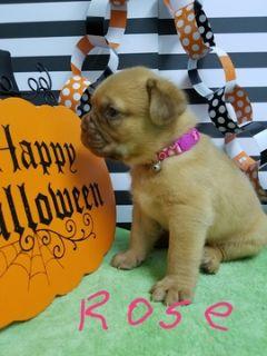 Dogue de Bordeaux PUPPY FOR SALE ADN-102811 - Dogue De Bordeaux puppies born October 4th