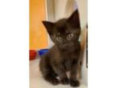 Adopt Edd a All Black Domestic Shorthair / Mixed cat in Benton, KY (25309125)