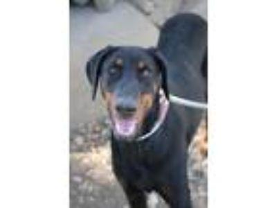 Adopt Calamity Jane a Black - with Tan, Yellow or Fawn Doberman Pinscher / Mixed