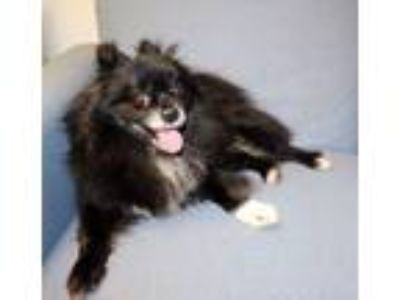 Adopt Bear a Black - with White Pomeranian / Mixed dog in Lumberton