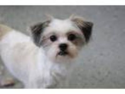 Adopt Sammy Turner a White - with Gray or Silver Havanese / Shih Tzu / Mixed dog