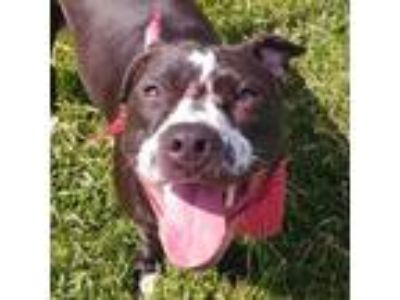 Adopt Koda a American Pit Bull Terrier / Mixed dog in Des Moines, IA (25546168)