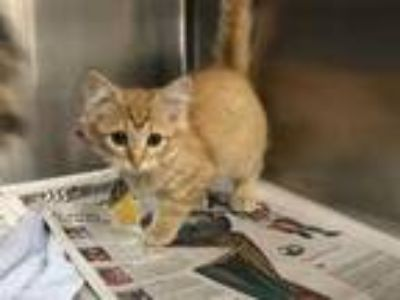 Adopt DOJO a Orange or Red Tabby Domestic Shorthair / Mixed (short coat) cat in