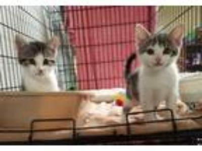 Adopt Heather & Holly sisters a Tabby, Domestic Short Hair