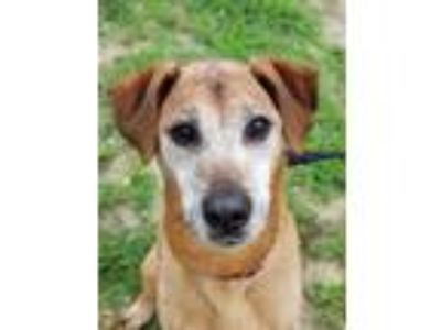 Adopt Hardy a Boxer, Whippet