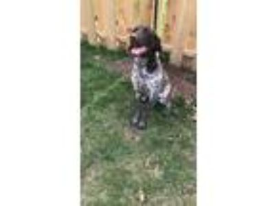 Adopt Harley a Brown/Chocolate - with White German Shorthaired Pointer dog in
