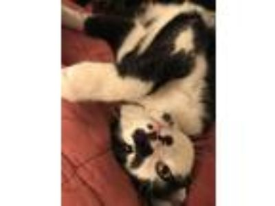 Adopt Zuko a Black & White or Tuxedo American Shorthair cat in Silver Spring