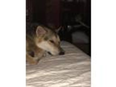 Adopt Quhora a Black - with Tan, Yellow or Fawn German Shepherd Dog / Husky /