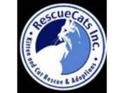Adopt Help support our FeLV Kitties a White Domestic Shorthair / Mixed (short