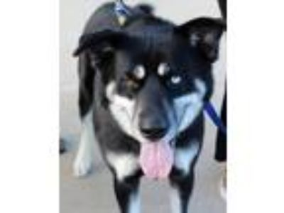 Adopt Marshall a Black - with White Husky / German Shepherd Dog dog in