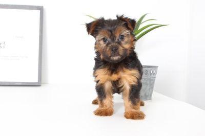 Yorkshire Terrier PUPPY FOR SALE ADN-99521 - Gabbi Female Yorkie Puppy