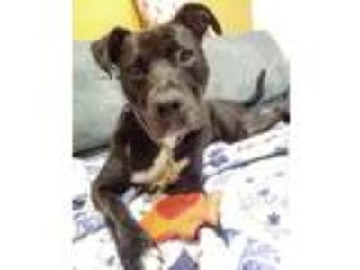 Adopt Rudy a Black - with White Pointer / American Pit Bull Terrier / Mixed dog