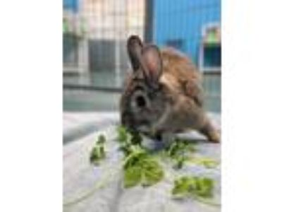 Adopt Leilani a Other/Unknown / Mixed rabbit in Mipiltas, CA (25291430)
