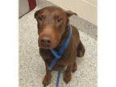 Adopt Rumplestiltskin a Doberman Pinscher / Mixed dog in Golden, CO (25243784)