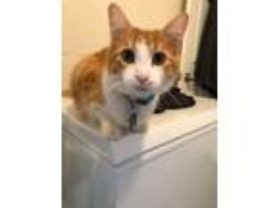 Adopt OLIE a Orange or Red Domestic Longhair cat in Desoto, TX (25574086)