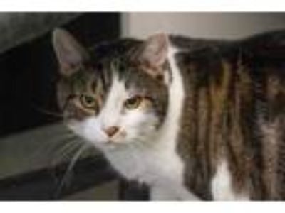 Adopt Garfield a White Domestic Shorthair / Domestic Shorthair / Mixed cat in