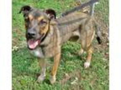 Adopt Alfan a Tricolor (Tan/Brown & Black & White) German Shepherd Dog / Mixed