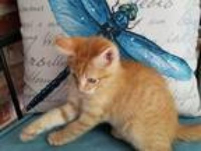 Adopt BLINKER a Orange or Red Tabby Domestic Longhair / Mixed cat in Dardanelle