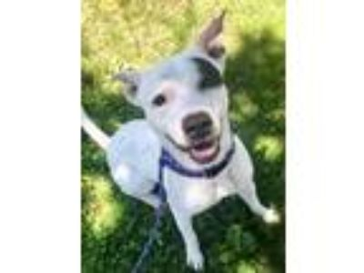 Adopt Jack a White - with Black American Pit Bull Terrier / Mixed dog in East