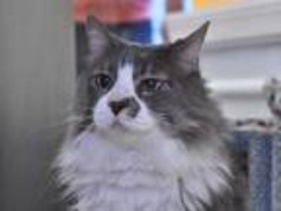 Adopt SIMON a Gray or Blue (Mostly) Maine Coon / Mixed (long coat) cat in