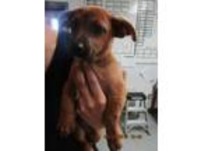 Adopt 41764787 a Brown/Chocolate Terrier (Unknown Type, Small) / Mixed dog in
