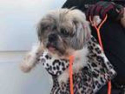 Adopt CONNOR a Shih Tzu, Mixed Breed