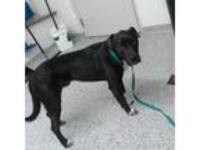 Adopt Podrick a Black Labrador Retriever dog in Knoxville, TN (25319062)
