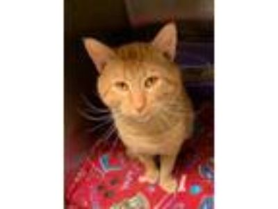 Adopt Cash a Orange or Red Domestic Shorthair / Domestic Shorthair / Mixed cat