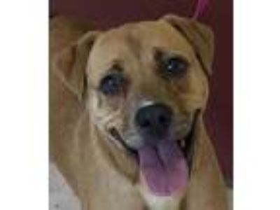 Adopt Link a Tan/Yellow/Fawn Labrador Retriever / Shar Pei dog in Milton
