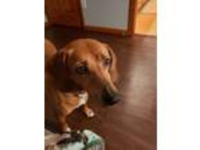 Adopt Honey a Tan/Yellow/Fawn Hound (Unknown Type) dog in Lancaster