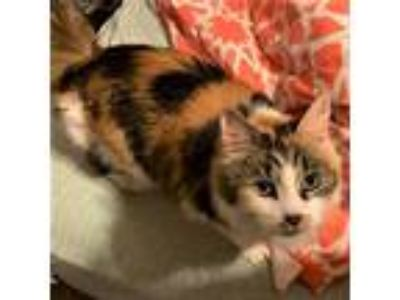 Adopt Sweet Pea V a Orange or Red (Mostly) Domestic Mediumhair / Mixed cat in
