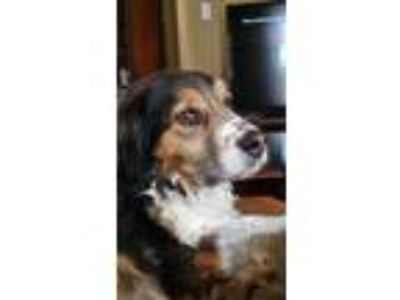 Adopt Huckleberry a Tricolor (Tan/Brown & Black & White) Cocker Spaniel /