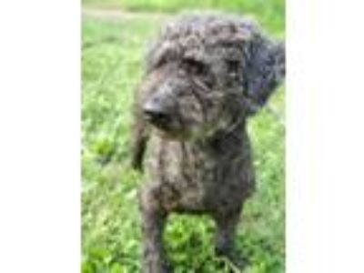 Adopt Drogo a Poodle, Terrier