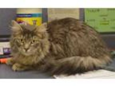 Adopt 59012 Zola a Gray or Blue Domestic Longhair / Domestic Shorthair / Mixed